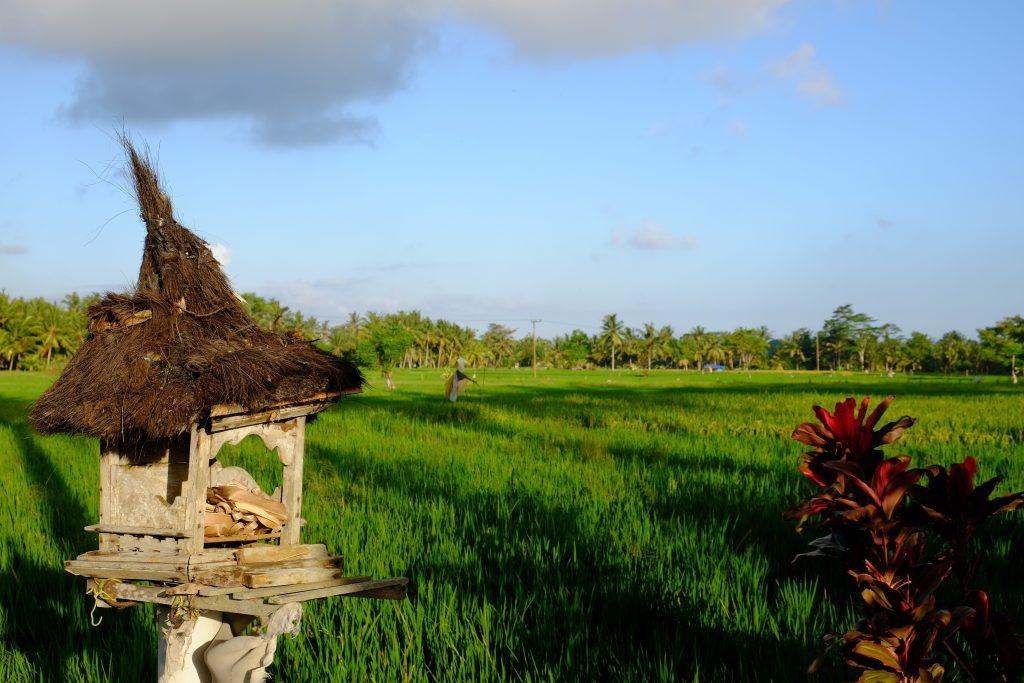 Bali Reisfeld