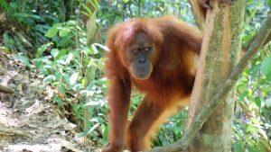 Indonesien - Gunung Leuser Nationalpark - Affe