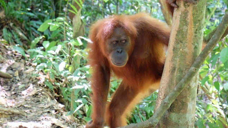 Indonesien - Gunung Leuser Nationalpark - Affe