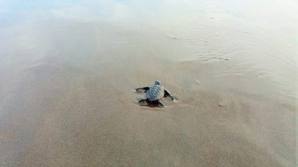 Indonesien Schildkröte