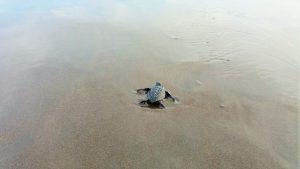 Sternschildkröte Bali
