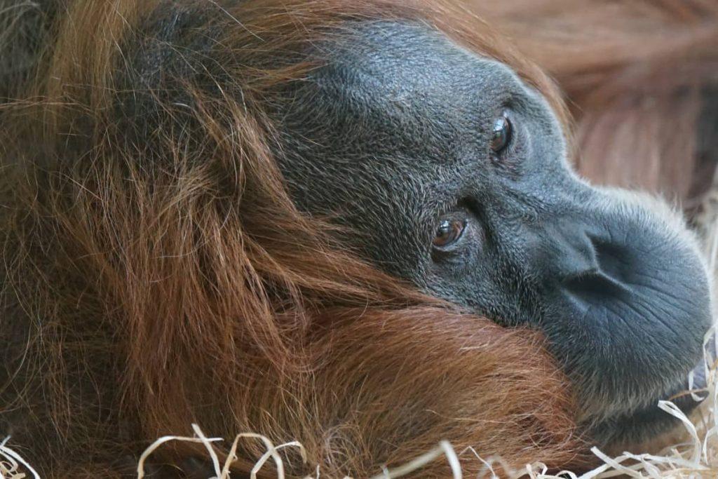 Sumatra Affe
