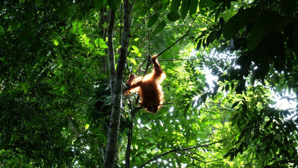 Sumatra Orang Utan