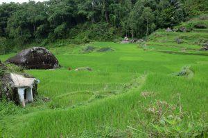 Sulawesi Reisfeld