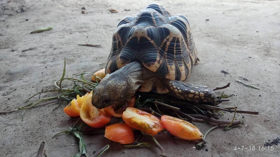 Sternschildkröte Myanmar