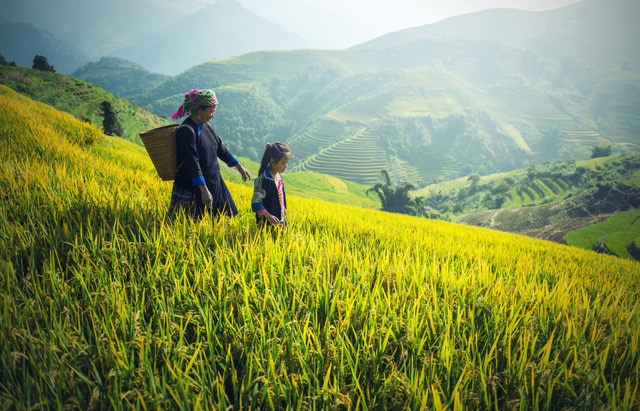 Vietnam Reisfeld