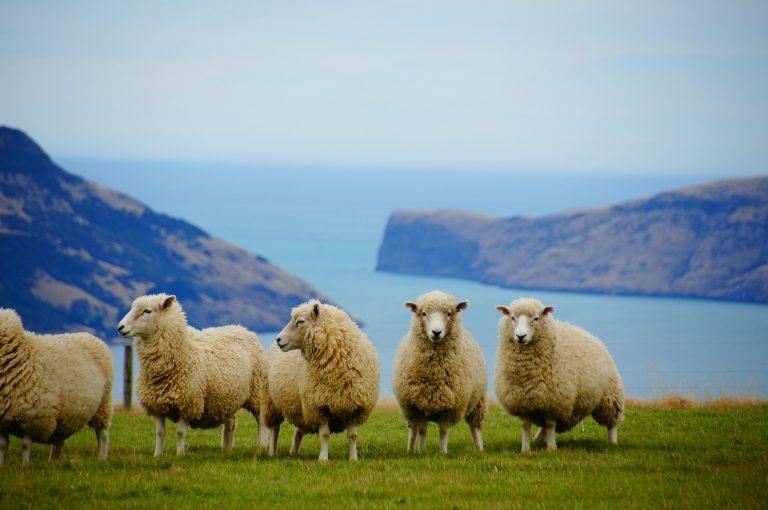 Neuseeland Schafe