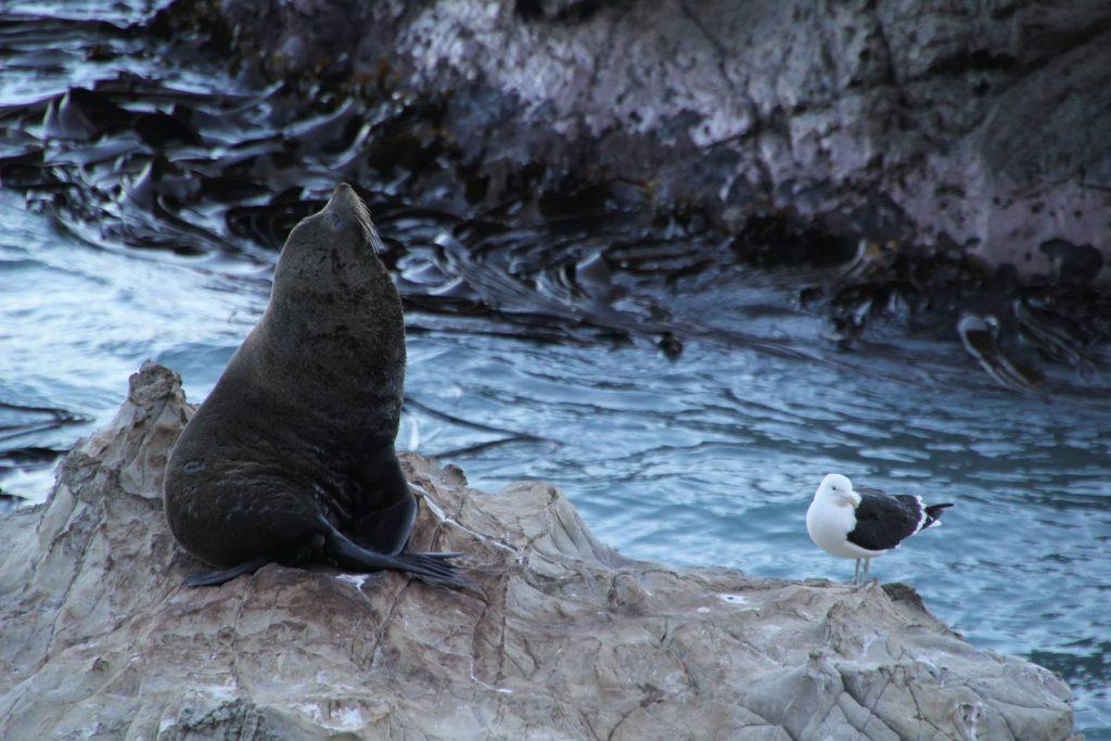 Neuseeland Seehund