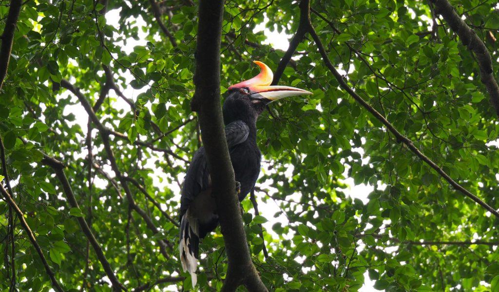 Nashornvogel Kinabatangan