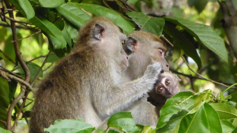 Malaysia Borneo Affen