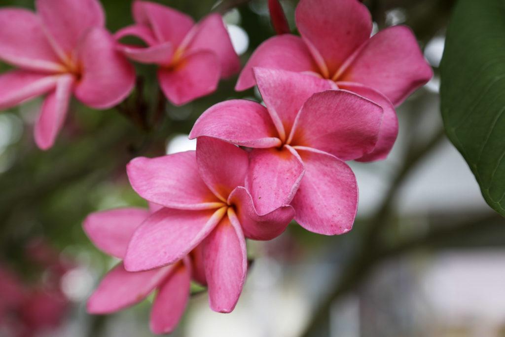 Blüte Pink