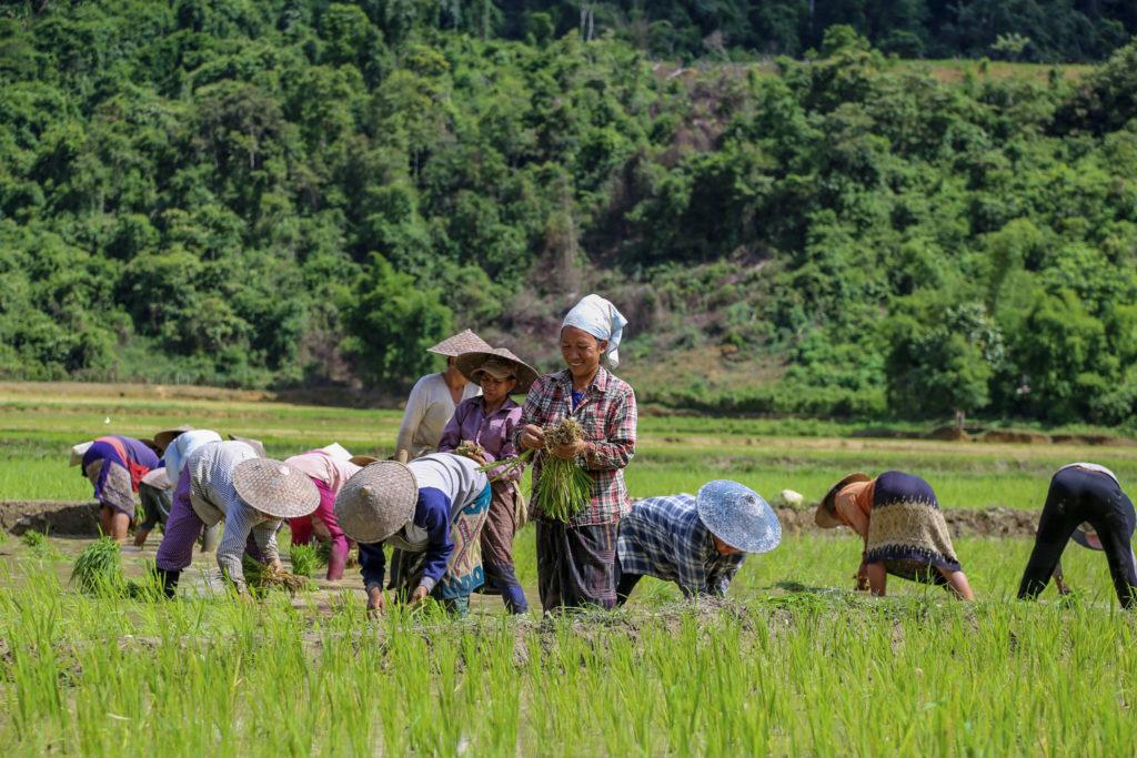 Laos Frauen bei Reisernte