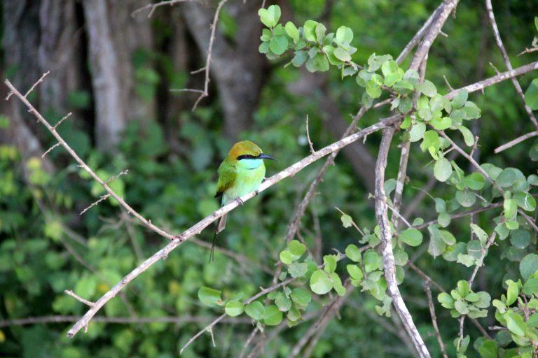 Sri Lanka Yala NP bunter Vogel