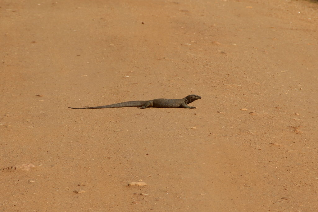 Sri Lanka Yala NP Echse im Sand
