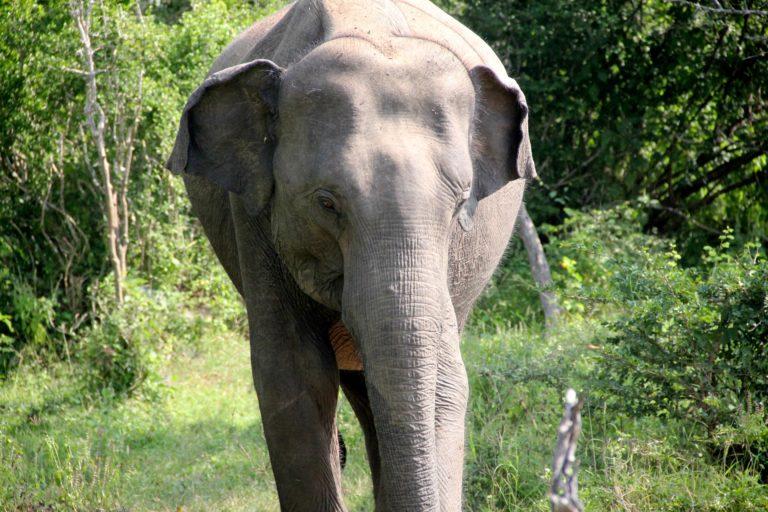 Sri Lanka Yala NP Elefant