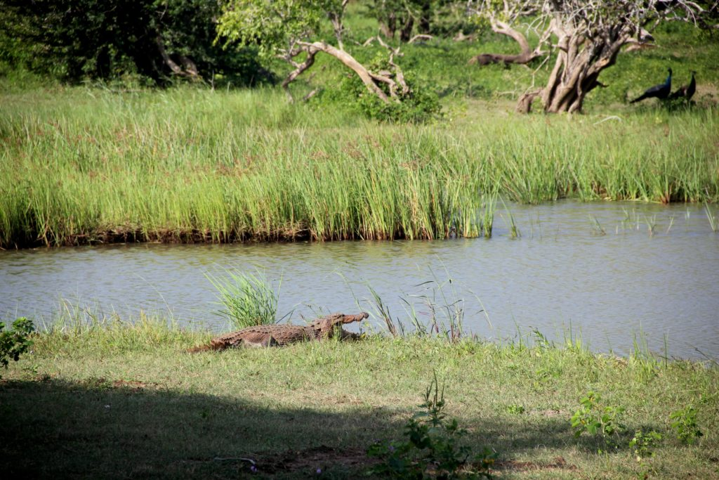 Sri Lanka Yala NP Krokodil