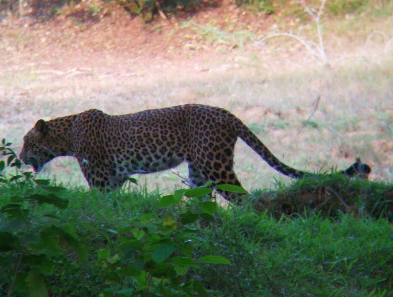 Sri Lanka Yala NP Leopard
