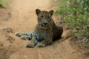 Sri Lanka Wilpattu Nationalpark Leopard