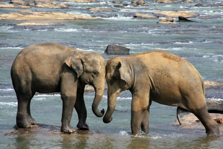 Wilpattu Elefanten im Fluss