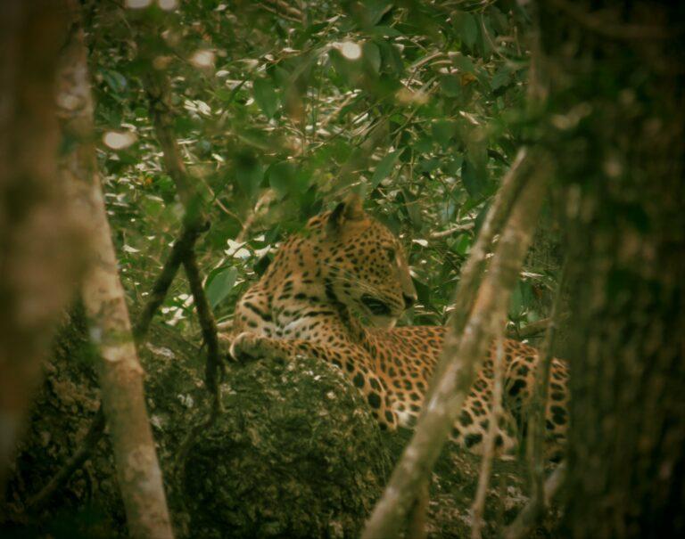 Wilpattu Leopard auf Baum