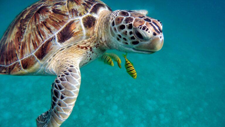 Malediven Schildkröte unter Wasser